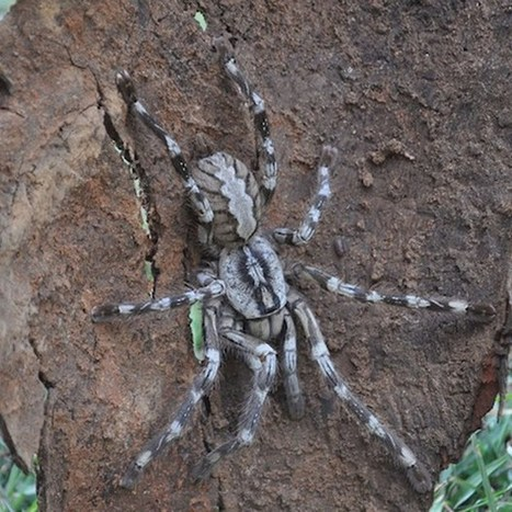 WIRED: New face-sized tarantula discovered in Sri Lanka | Amazing Science | Scoop.it