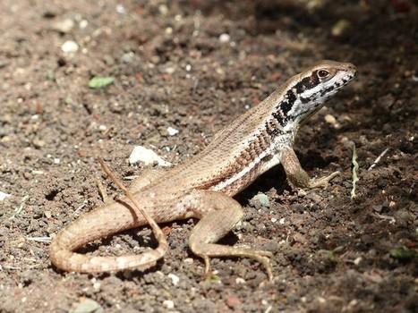 Faune de Cuba : Léiocéphale de Cuba - Leiocephalus cubensis - Cuban Curlytail Lizard - Cuban brown curly-tailed lizard | Fauna Free Pics - Public Domain - Photos gratuites d'animaux | Scoop.it