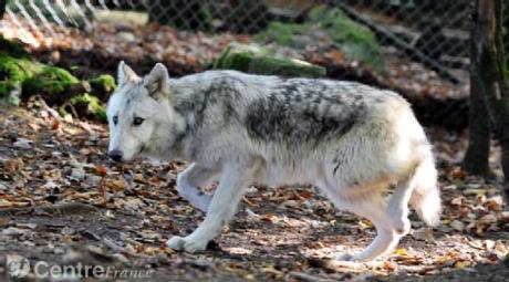 Le parc aux loups de Chabrières a battu un record de fréquentation en 2011 et fourmille de projets | Actualités du Limousin pour le réseau des Offices de Tourisme | Scoop.it