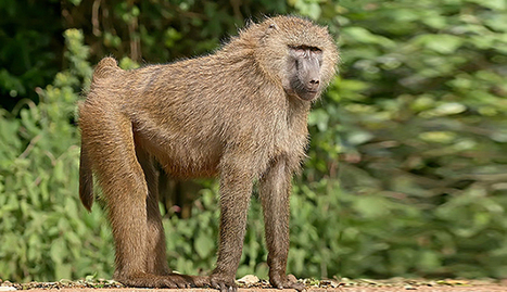 Drama in village as suspect rapist 'turns into baboon' | No Such Thing As The News | Scoop.it