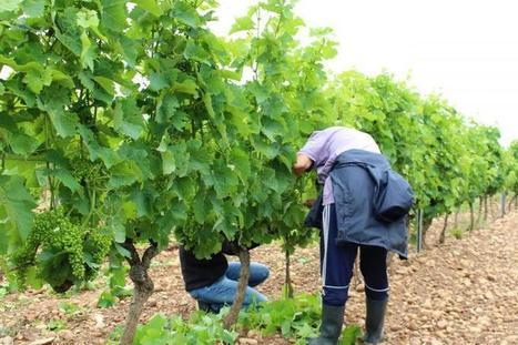 La technique d'épillonnage pour un gain de qualité | Le Vin et + encore | Scoop.it