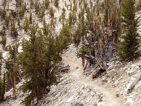 Methuselah Tree located in California, US | Ancient Civilizations | Scoop.it
