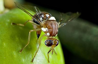 Contamination Danger: GM Fruit Flies, Mosquitoe...