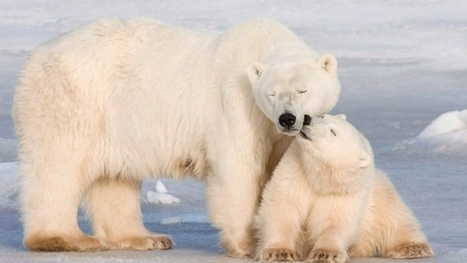 Polar bears not able to slow down metabolism when food scarce: study | Climate change challenges | Scoop.it