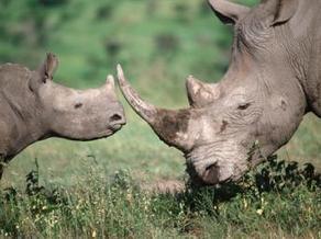 Убийство носорогов в ЮАР достигло рекордных показателей - RFI | природа | Scoop.it