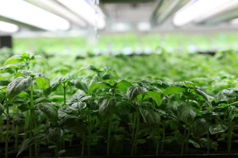 Indoor Farming: Future Takes Root In Abandoned Buildings, Warehouses, Empty Lots & High Rises | Vertical Farm - Food Factory | Scoop.it