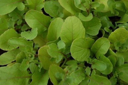 How to Save Arugula Seeds | Gardening planning | Scoop.it