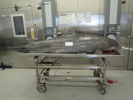 Death of Dolphin Shot With Arrow Sparks NOAA Hunt for Killer - NBCNews.com | World whale rescue | Scoop.it