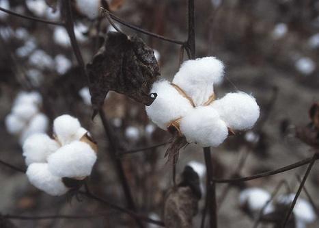 Cotton of Utah's Dixie | Desert Cotton | Scoop.it