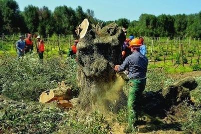 Les arbres, victimes collatérales de la mondialisation | Wine & Olive Oil Strategy & Sustainability | Scoop.it