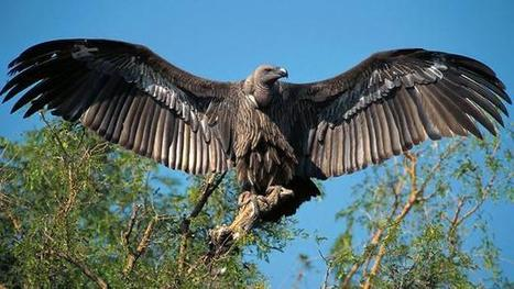 Vultures: Nature's rubbish collectors who never strike | Vulture Love | Scoop.it