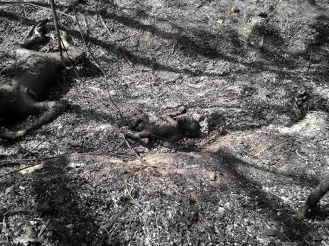 Indonésie : trois orang-outans piégés dans un incendie volontaire | Des infos sur notre planète : ecologie , biodiversité | Scoop.it