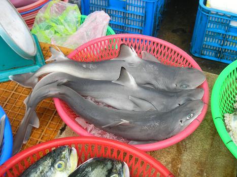 New Shark Species Found in Food Market   Quite Interesting News   Scoop.it