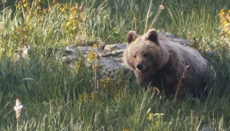 El oso, a la cabeza de las especies en peligro en Catalunya   News Medio Ambiente   Scoop.it