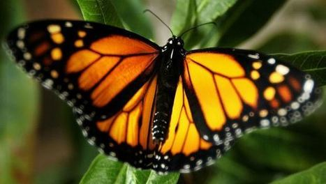 California Monarch Butterfly Population Tumbling | WHAT THINGS ARE GMO FOODS OR SUPPORTERS OF MONSANTO? Weather Disasters | Scoop.it