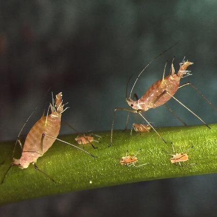 Symbiont influence on host ecology / Une bactérie symbiotique du puceron du pois  affecte sa tolérance à la chaleur | EntomoNews | Scoop.it
