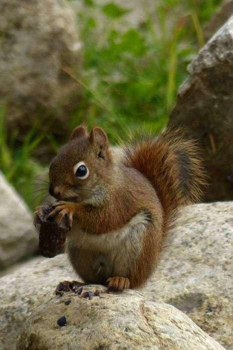 Photos de rongeurs : Ecureuil roux d'Amérique - Ecureuil de l'Hudson - Tamiasciurus hudsonicus - American red squirrel - Page 2 | Fauna Free Pics - Public Domain - Photos gratuites d'animaux | Scoop.it