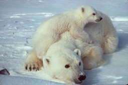 #Save #PolarBears From #Extinction ~ pls sign petition to help... | Rescue our Ocean's & it's species from Man's Pollution! | Scoop.it