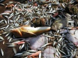 Mediterranean fish stocks show steady decline | News on the Fisheries and Aquaculture field | Scoop.it