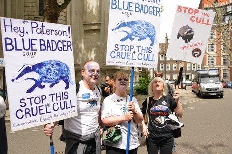 England against the badger cull | Leading for Nature | Scoop.it