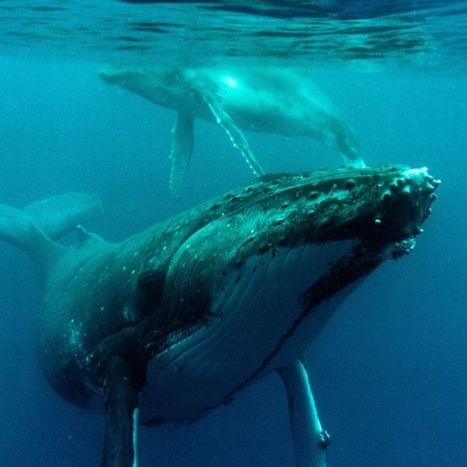 Australian coalition must commit to whale protection & stop the Japanese whalers | Poaching & Wildlife Crime | Scoop.it