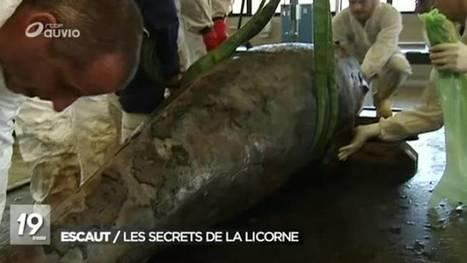 RTBF La Une | Une licorne des mers échouée dans l'Escaut | L'actualité de l'Université de Liège (ULg) | Scoop.it