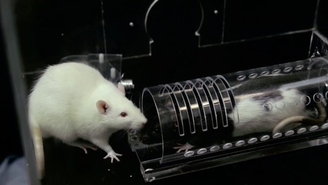 Can rats have empathy? | Psychology, Sociology & Neuroscience | Scoop.it