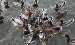 Don't feed the ducks bread, say conservationists | Farming, Forests, Water, Fishing and Environment | Scoop.it