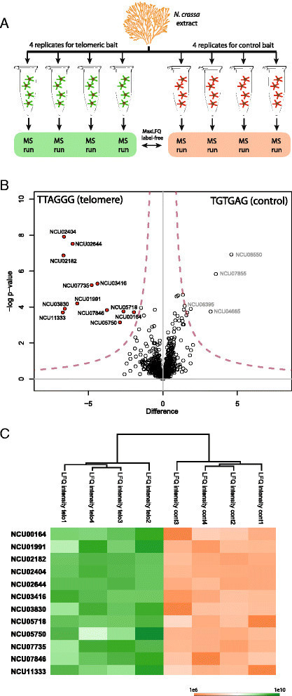 Identification of TTAGGG-binding proteins in Neurospora crassa, a fungus with vertebrate-like telomere repeats   Plant-Microbe Interaction   Scoop.it