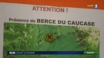 Loire : Menace sous forme de Berce du caucase  (+vidéo) | Toxique, soyons vigilant ! | Scoop.it