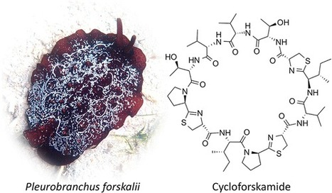 Cycloforskamide, a Cytotoxic Macrocyclic Peptide from the Sea Slug Pleurobranchus forskalii | JOIN SCOOP.IT AND FOLLOW ME ON SCOOP.IT | Scoop.it