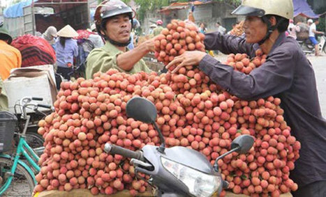 Vietnamese farmers await foreign interest in lychee with bated breath - News VietNamNet | Vietnam: Inclusive & Sustainable Agriculture | Scoop.it