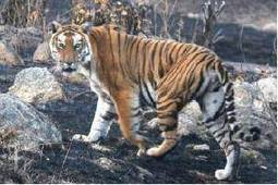 Russian team being trained in Panna to boost tiger conservation - The Times of India | GarryRogers Biosphere News | Scoop.it