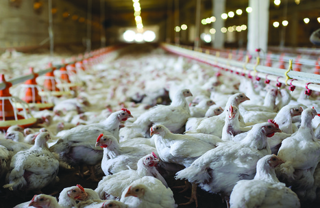 Growing poultry demand evident at VIV MEA   Livestock Equipment News and Trends   Scoop.it
