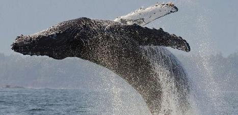 La baleine à bosse, cette justicière des océans | Zones humides - Ramsar - Océans | Scoop.it
