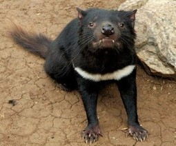 Iron ore mine faces fresh charges of risking Tasmanian devils | Sustain Our Earth | Scoop.it