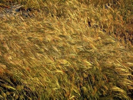 Produção mundial de cereais deve aumentar significativamente em 2013 | Deambulações | Scoop.it