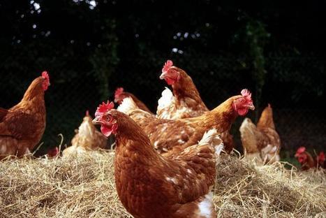 « Le bien-être ne doit pas être perçu comme une contrainte » | SCIENCES DE L'ANIMAL | Scoop.it