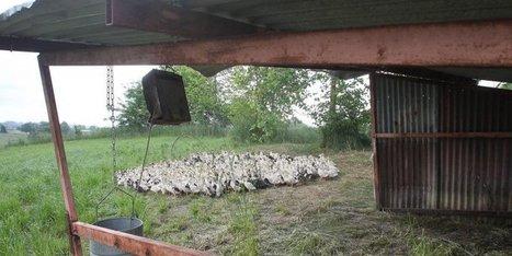 Le foie gras du Sud-Ouest revient en août | Agriculture en Dordogne | Scoop.it