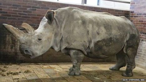 Death of rare Northern White #Rhino leaves four alive #extinction | Messenger for mother Earth | Scoop.it