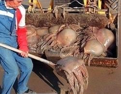 Augmentation inquiétante du nombre de méduses en Méditerranée | Toxique, soyons vigilant ! | Scoop.it