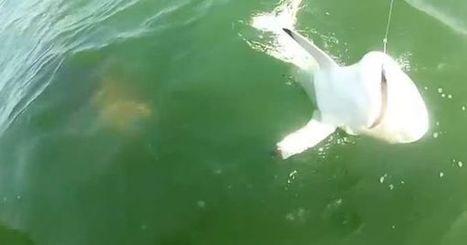 Un requin se fait dévorer par un mérou goliath en pleine mer | Vieux Greements et Traditions | Scoop.it