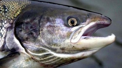 Salmon firm faces call to move farms | Aquaculture | Scoop.it