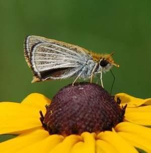 Protéger les prairies marécageuses des zones humides du Michigan pourrait sauver un papillon de l'extinction | Le flux d'Infogreen.lu | Scoop.it