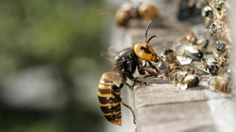 Attaques de frelons en Chine : le bilan passe à 42 morts | EntomoNews | Scoop.it