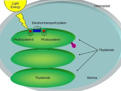 an insight into the process of photosynthesis in plants Biology end show slide photosynthesis is the process in which green plants use the energy of sunlight to convert water insight into the process of.