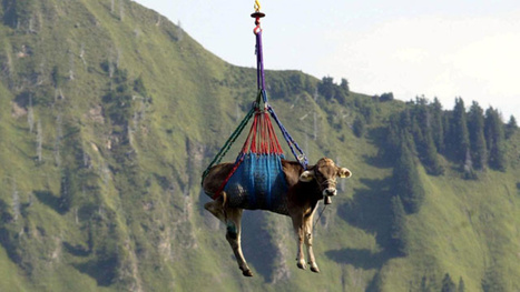 Why the Swiss Evacuate Their Cows by Helicopter | Strange days indeed... | Scoop.it