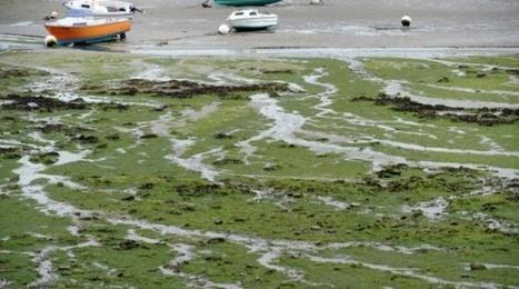 Moins d'algues vertes en Bretagne cet été, davantage ailleurs en France | Toxique, soyons vigilant ! | Scoop.it
