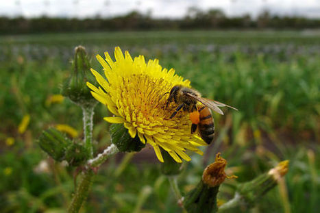 Are pesticides changing how bees forage? | GMOs & FOOD, WATER & SOIL MATTERS | Scoop.it