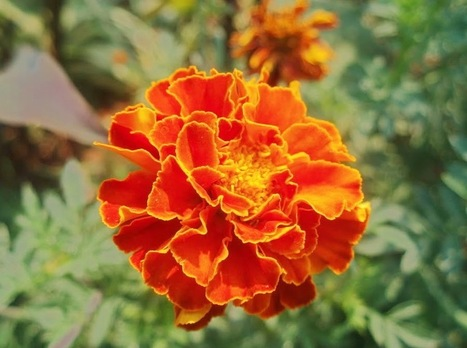 Marigold | Gardening is more than Digging the Dirt | Scoop.it